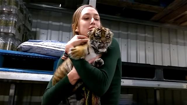 トラの赤ちゃんを抱き上げた結果、とんでもないカワイイことに…