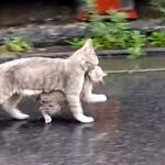 雨の中、濡れないように子猫をくわえて家路を急ぐ母猫