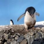拾い集めた石で巣作りをするペンギン。その石をかすめ取るずる賢いペンギン