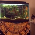 水槽の魚が気になるニャンコ。狙いを定めてジャンプした結果。