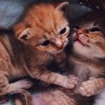 お互いに支えあうようにしている二匹の孤児の子猫を保護した結果 17枚