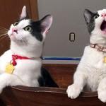 天井にシーリングファンを取り付けて回してみたときの猫の反応(笑)