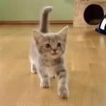 元気な声で盛んに話しかけてくるマンチカンのかわいい子猫