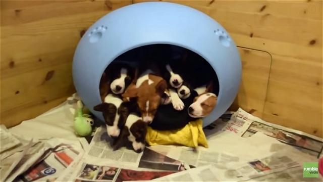 ハウスで眠るバセンジーの子犬たちを呼んでみた結果、飛び出した予想外の光景(笑)