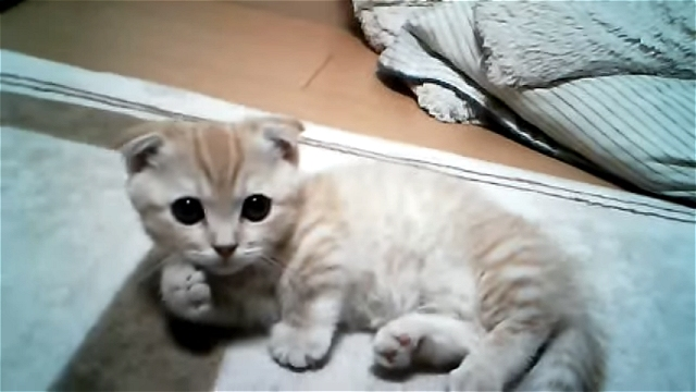 胸キュン注意!|ゴロゴロしながら大きな瞳でカメラを気にするマンチカンの子猫