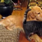 やんちゃし過ぎる猫をやさしくなだめる大人なゴールデンレトリバー