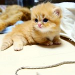 マットレスの隙間に興味津々なおもしろかわいいマンチカンの子猫