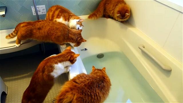 バスタブに浮かぶオモチャの魚に興味津々なマンチカンの猫たち