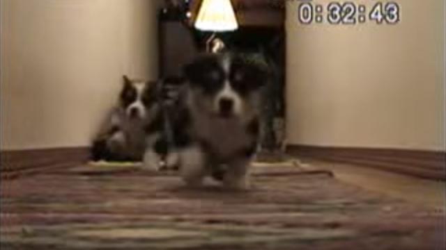カメラに向かって押し寄せるかわいいコーギーの子犬たち♡