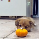 ミニカボチャを不思議そうに見つめるコーギーの子犬