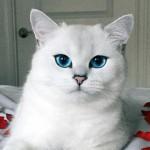 美しさに魅了される青く輝く宝石のような瞳を持つ美猫 9枚
