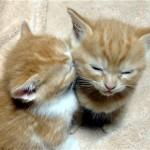となりの子猫に顔をうずめてうたた寝をするカワイイ子猫♪