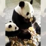 食べるのに夢中な母親パンダが子パンダにとった意外な行動