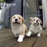 スローモーション映像でコーギー犬のかわいさが更にアップ!
