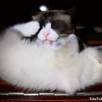 子猫を念入りに毛づくろいする母猫が愛情をたっぷり注ぎ込んだ結果