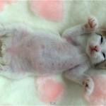 仰向けになって眠る子猫。夢を見ながら足をピクピク♡