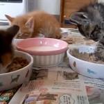 食事中に眠くなり、電池が切れたように動きが止まっていく子猫(笑)