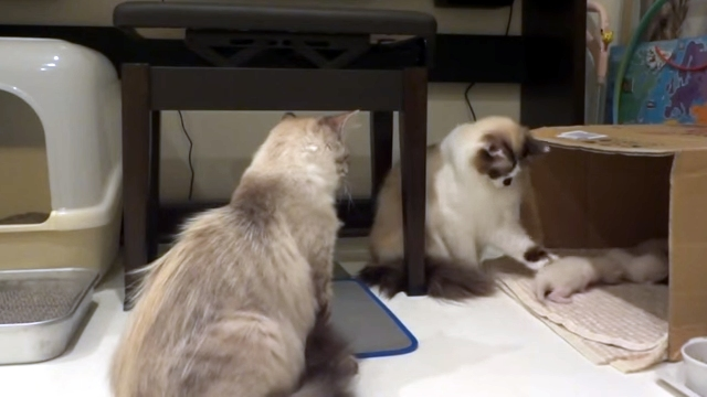 子猫をいじくられて我慢の限界に達した母猫の怒りが爆発した瞬間!