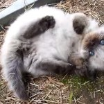 地面に寝そべるマンチカンの子猫。起き上がれずに四苦八苦