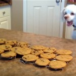 テーブル置かれたクッキーが気になって仕方がないワンちゃん