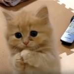 大きな瞳の子ネコ。ご飯をおねだりする仕草が可愛すぎ!♡
