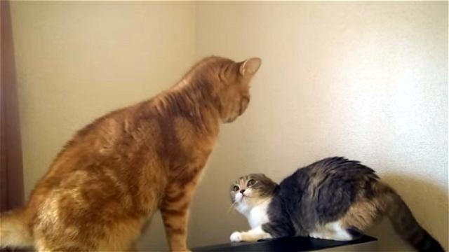 ケンカをはじめそうなスゴイ形相をしたネコの恥ずかしい結末