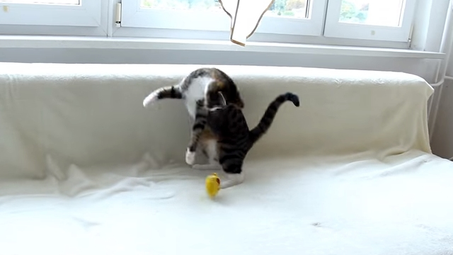 興奮し過ぎ(笑)!|奇妙な動きをしながらオモチャで遊ぶ子ネコ