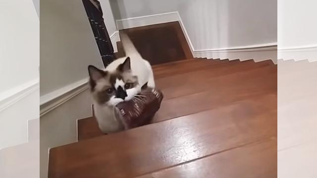 オヤツの袋を持って来て飼い主に「ちょうだい」とおねだりするネコ