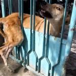 ゲートに挟まって抜け出せなくなった野良犬の救出!