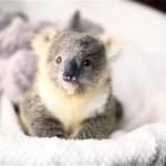 ベビーバスケットの中でくつろぐ生後10カ月のコアラの赤ちゃん