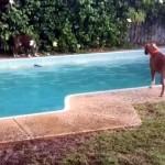 なかなかの策士(笑)!|プールにオモチャを落とし、対岸の犬を誘いこむワンちゃん