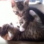 これは大変!|姉妹で仲良く遊んでいた子猫が突然仰向けになったまま固まってしまった!