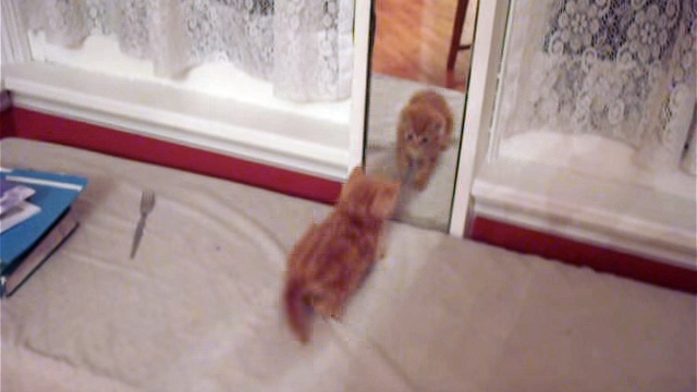 鏡に映った自分の姿を見てパニック状態に陥る子ネコ(笑)