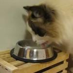 ペロペロとおいしそうにミルクを飲む猫。勢い良すぎて壁が大変なことに…