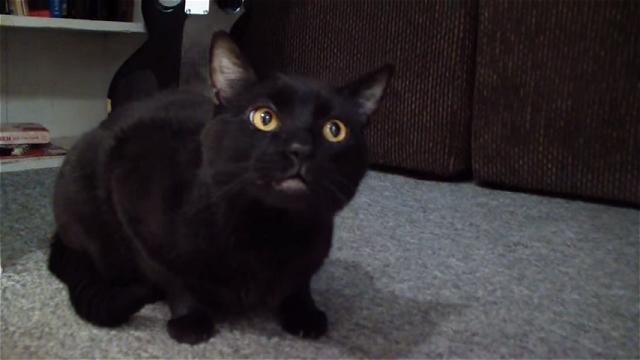 発声練習中のオペラ歌手のような鳴き声をする猫♪