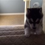 足元がおぼつかない子犬。慣れない階段に挑んだ結果、あわや大惨事の事態に…