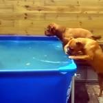 見事なチームワークでプールに沈んだタイヤを引き上げる二匹のワンちゃんたち
