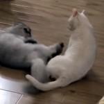 「気」を操って見事な「猫キック」で相手を倒す中国武術のマスター猫(笑)