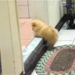 段差を越えようと悪戦苦闘するまん丸で小っちゃなモフモフ子犬