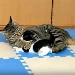 孫猫を溺愛するおばあちゃん猫の半端ない愛情表現