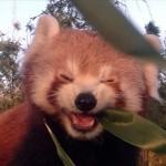 うれしそうに笹を食べるレッサーパンダ♪ 4枚