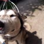 メタルシャワーでマッサージされて極楽気分のハスキー犬