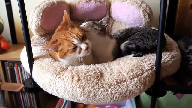 先輩ネコをペロペロし過ぎて逆鱗に触れてしまった後輩ネコ(笑)