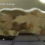 熟睡中のコーギー犬。下から見てもやっぱりカワイイ♡