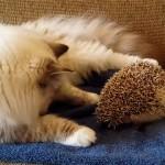 ハリネズミにちょっかいをかける猫に訪れた思わぬ悲劇(笑)