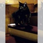 自分の尻尾をくわえながら優雅に階段をのぼるネコ