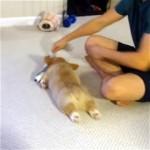 飼い主に引きずり回されて遊ぶ脱力感が漂うコーギー犬(笑)