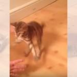 飼い主に猫カーリング(床すべり)をしてもらいご機嫌な子ネコ♪