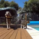 ワンちゃんの背中に乗っかりプールで水遊びを楽しむネコちゃん