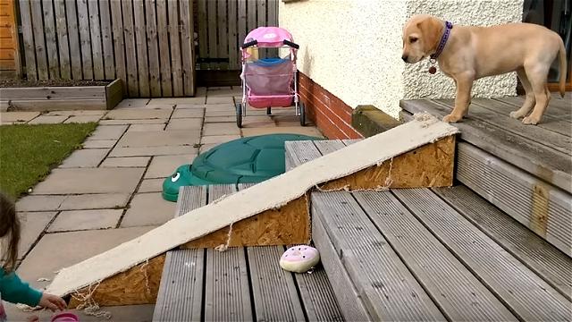 ラブラドールの子犬。スロープを降りる方法が予想外で笑える♪